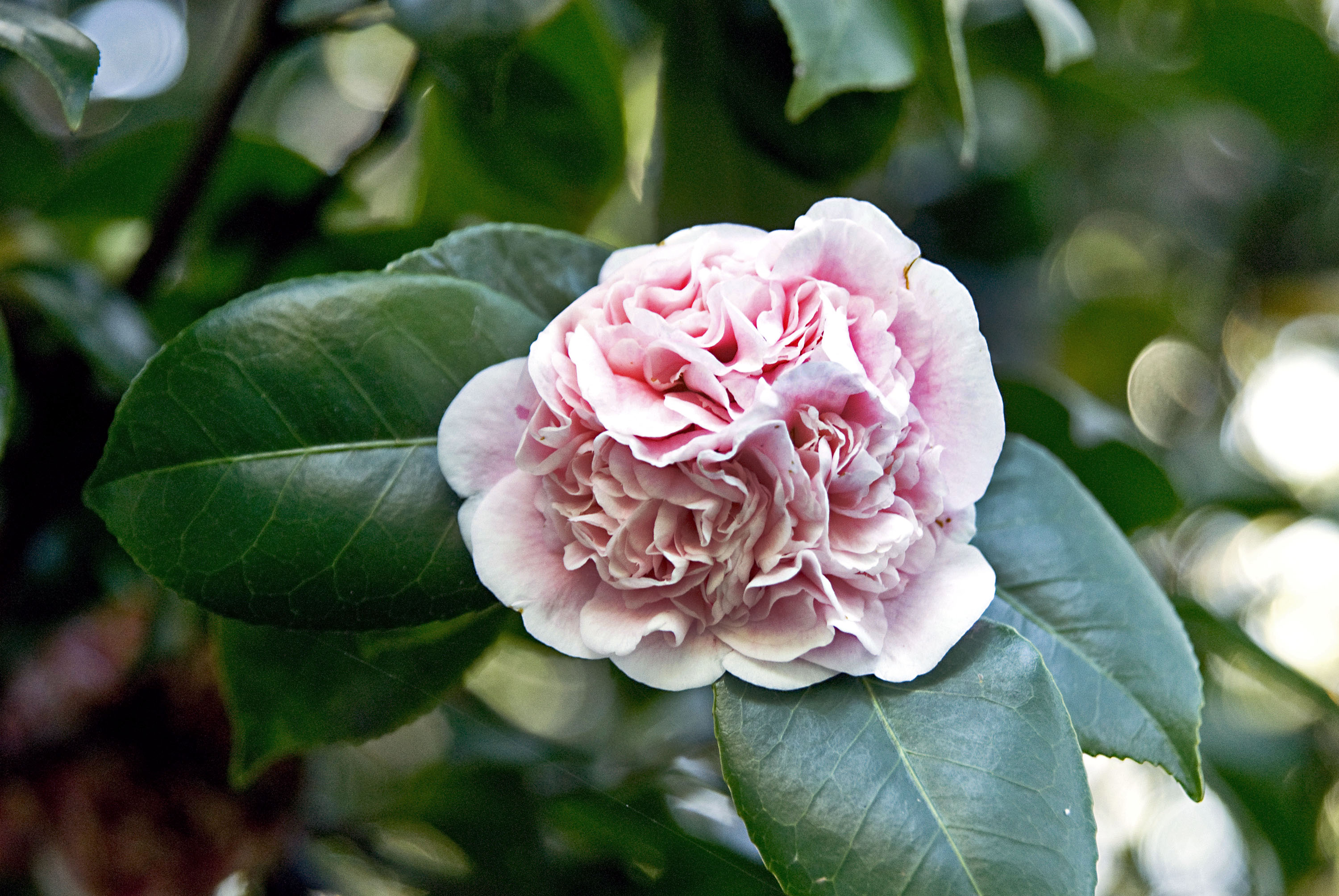 Chameleon camellias