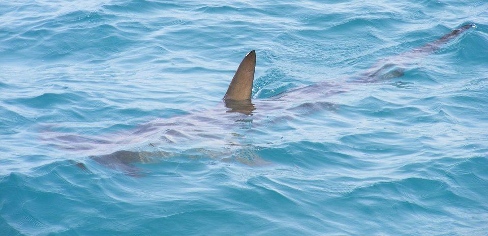 Old Shark, New Tricks