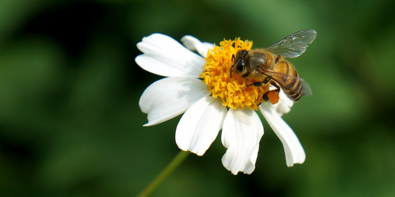 Bees in decline: National Pollinators Week