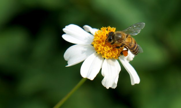 Bees in decline: National Pollinators Week