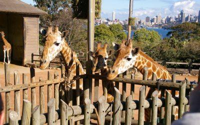 Animal Antics at Taronga Zoo