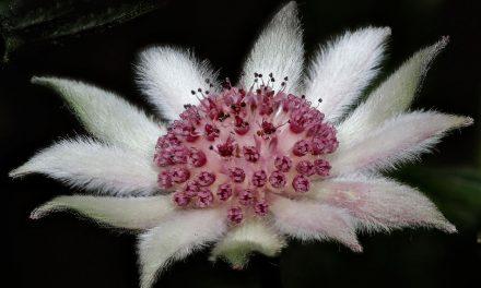Fabulous Flannel Flowers