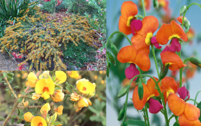 Australian Natives: Pea Flowers, Perfect for Spring